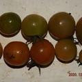 2020/12/08(火)・畑のミニトマト・10個収穫