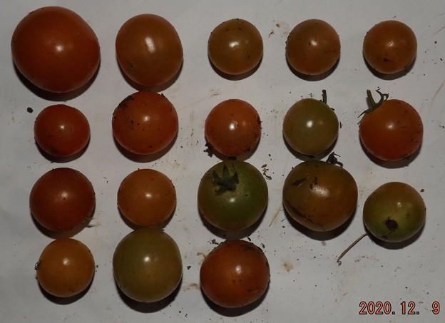 2020/12/09(水)・畑のミニトマト・18個収穫