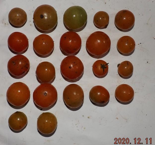 2020/12/11(金)・畑のミニトマト・22個収穫