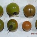 2020/12/12(土)・畑のミニトマト・8個収穫