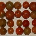 2020/12/13(日)・畑のミニトマト・20個収穫