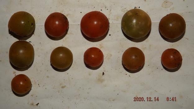 Photos: 2020/12/14(月)・畑のミニトマト・11個収穫