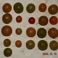 2020/12/15(火)・畑のミニトマト・21個収穫