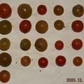 Photos: 2020/12/16(水)・畑のミニトマト・21個収穫