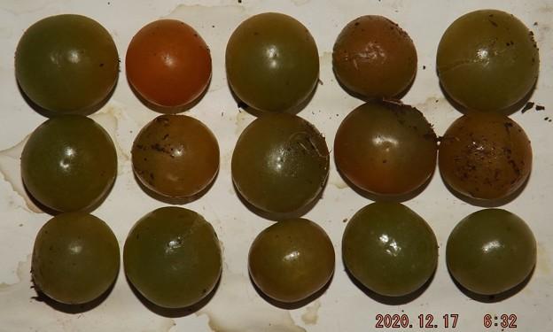 2020/12/17(木)・畑のミニトマト・15個収穫