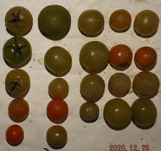Photos: 2020/12/18(金)・畑のミニトマト・22個収穫