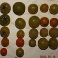 2020/12/18(金)・畑のミニトマト・22個収穫