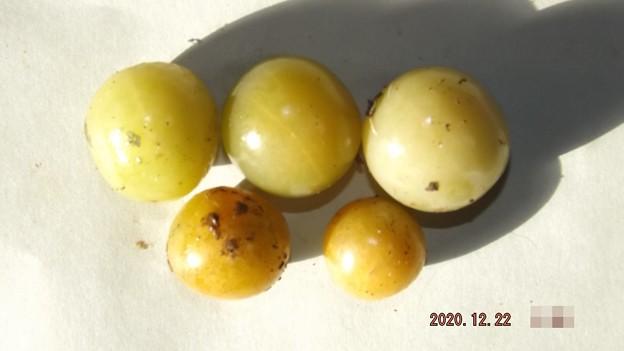 2020/12/22(火)・畑のミニトマト・5個収穫