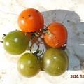 2020/12/24(木)・畑のミニトマト・5個収穫