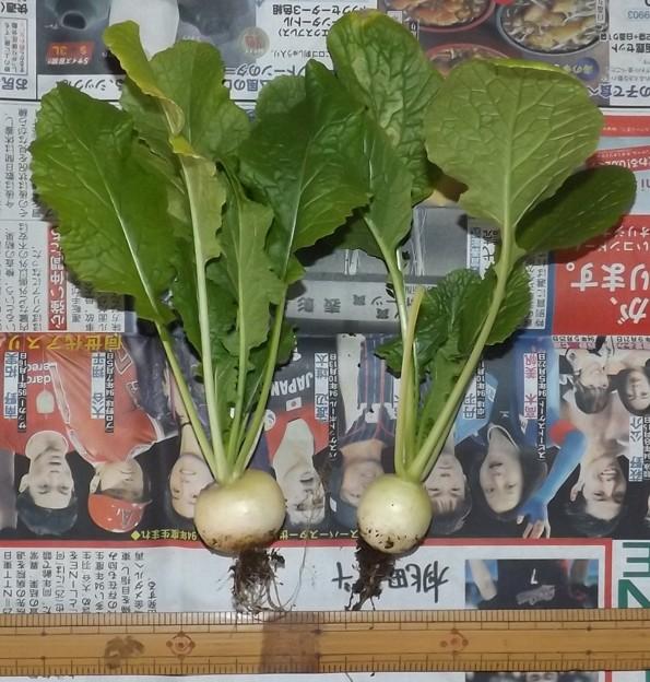 2021/01/17(日)・プランターの小カブ・2個収穫
