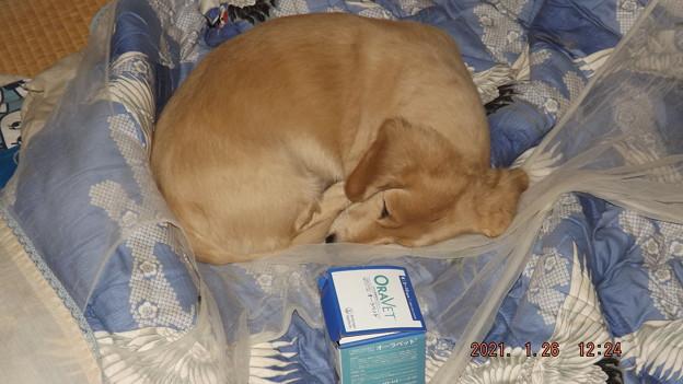 Photos: 2021/01/26(火)・ガムが入っている箱をお守りにしながら寝る僕ちゃん