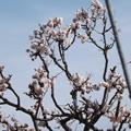 2021/02/23(火・祝)・お向かいの家の梅の木