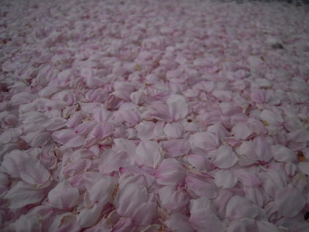 写真: もも色絨毯