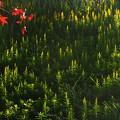 Photos: まだ咲いてます