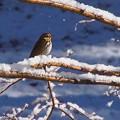 Photos: 雪の日のビンズイ