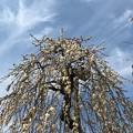 0222_メジロのいた梅