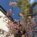 Photos: 0318_さくら