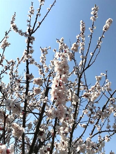 0403_桜咲いた