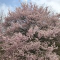 Photos: 0421_山の桜