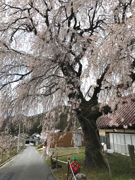 0422_枝垂れ桜