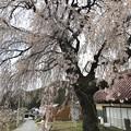 Photos: 0422_枝垂れ桜