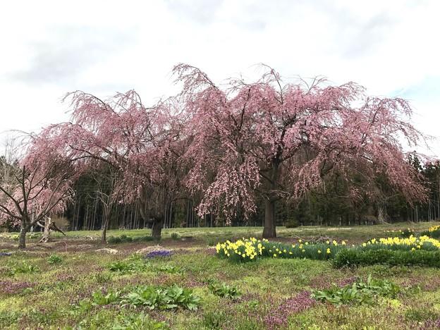0422_畑の中の見事な桜