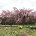 Photos: 0422_畑の中の見事な桜