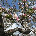 Photos: 0424_リンゴの花1