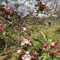 Photos: 0424_リンゴの花2
