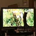 0801_テレビ見るねこ