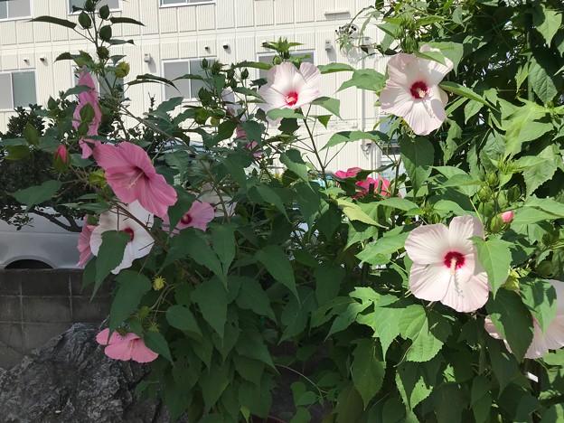 0823_ムクゲがまだ咲いている