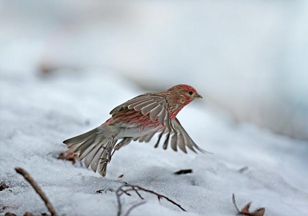 念願成就「雪中赤い鳥」