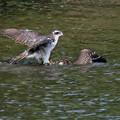 「鳥の食」4オオタカのハンティング