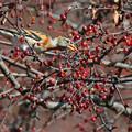 「鳥の食」77 アトリ・ズミの実