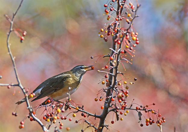 「鳥の食」78 マミチャジナイ・ズミの実