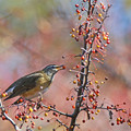 Photos: 「鳥の食」78 マミチャジナイ・ズミの実