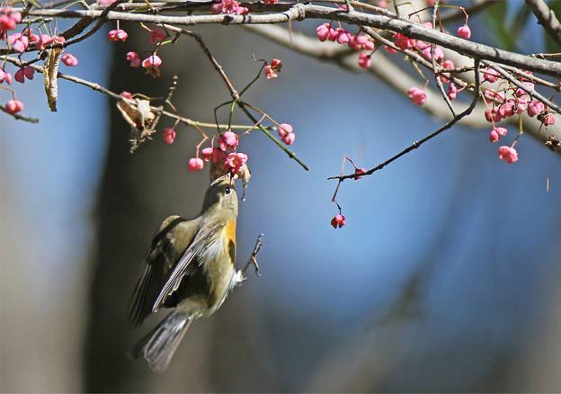 Photos: 「鳥の食」79 ムギマキ♂若・マユミの実