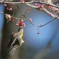 「鳥の食」79 ムギマキ♂若・マユミの実