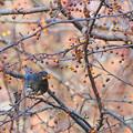 「鳥の食」80クロツグミのズミ銜え