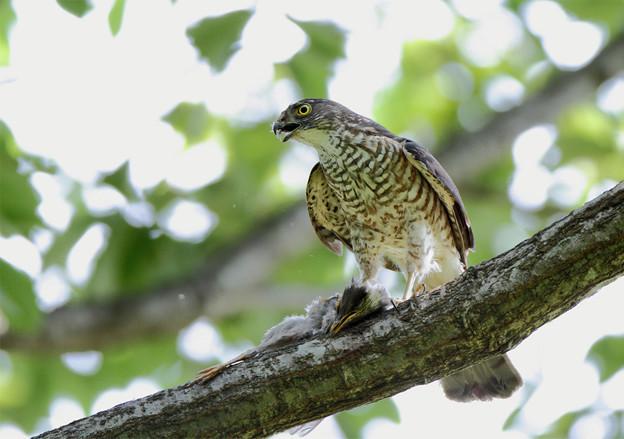 「鳥の食」7 ツミの罪・オナガ幼鳥