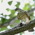 Photos: 「鳥の食」7 ツミの罪・オナガ幼鳥