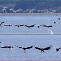 「鳥の食」9 オオワシの採餌風景