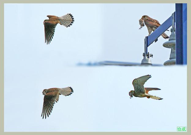 「鳥の食」10 チョウゲンボウ・スズメか