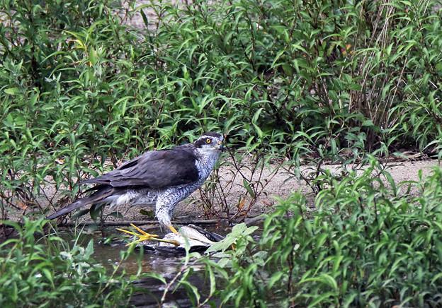 「鳥の食」5 オオタカ・ゴイサギ幼鳥