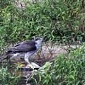 Photos: 「鳥の食」5 オオタカ・ゴイサギ幼鳥
