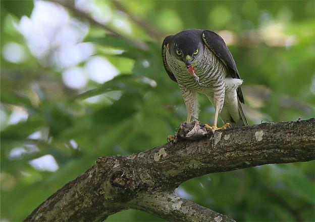 「鳥の食」6ツミ ●鑑賞は自己責任で