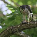 Photos: 「鳥の食」6ツミ ●鑑賞は自己責任で