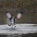 「鳥の食」11 ミサゴの魚獲り(川・鮎)