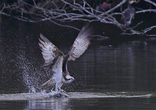 Photos: 「鳥の食」12 ミサゴの魚獲り(沼・フナ)