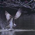 「鳥の食」12 ミサゴの魚獲り(沼・フナ)